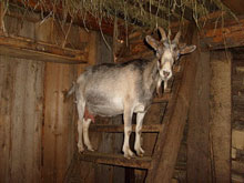 Фото 1. Коза стоит на две ступеньки выше нас